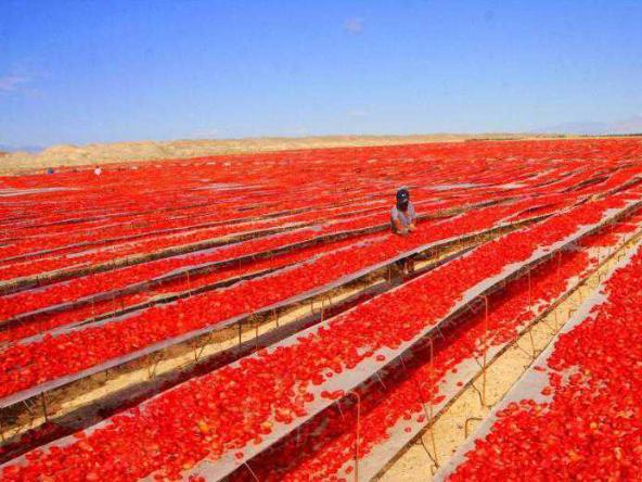 Tomato harvest season in Northwest China's Xinjiang