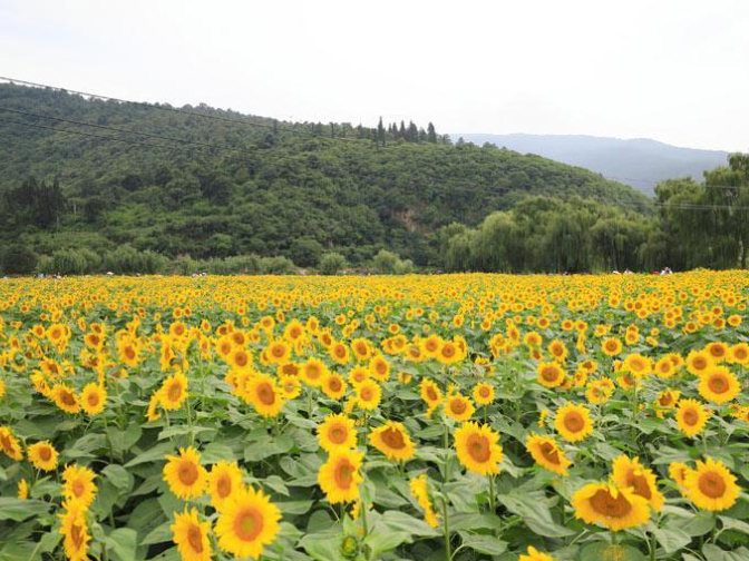 In China's Yunnan, sunflowers paint an idyllic picture
