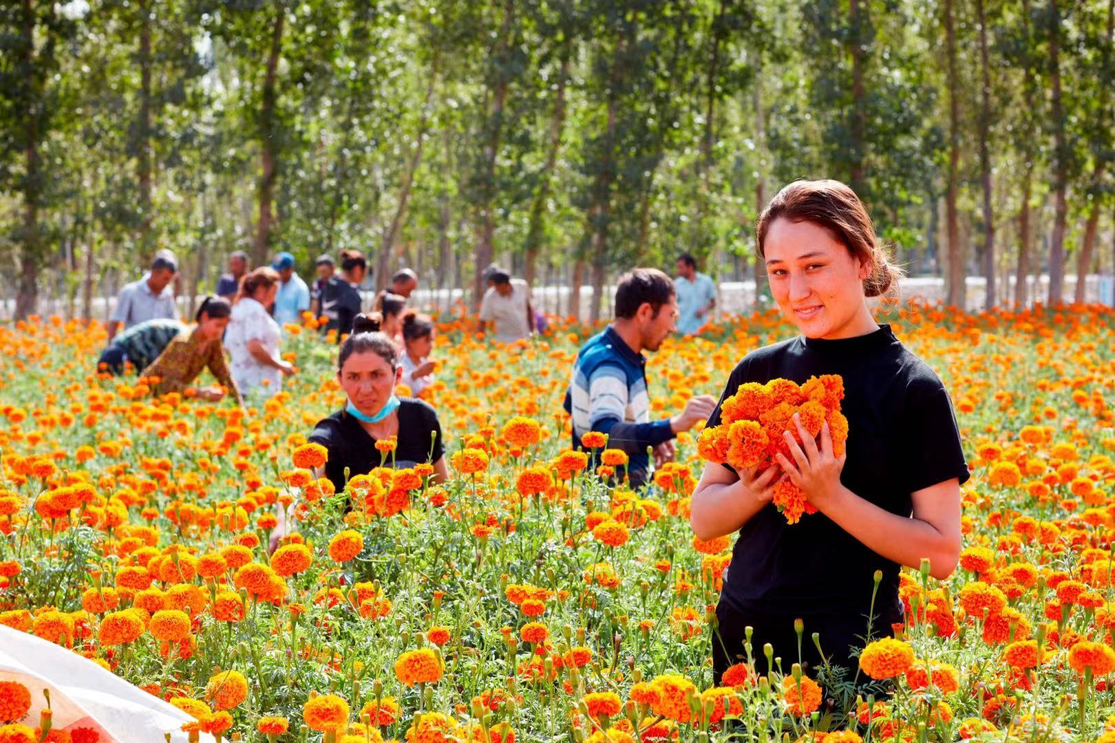 Golden marigolds blossom in Shache County