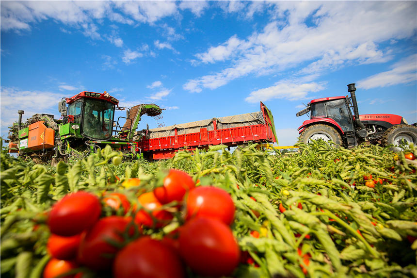 Harvesters in Xinjiang reap tomatoes across thousands of hectares