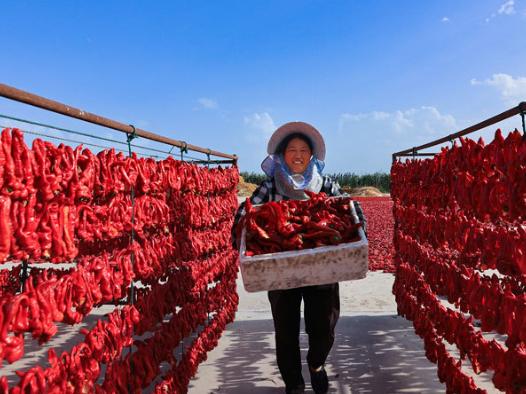 County in NW China's Xinjiang embraces harvest season for chili peppers