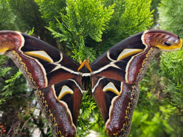 Moths with wing patterns resembling snake heads spotted in SW China's Yunnan