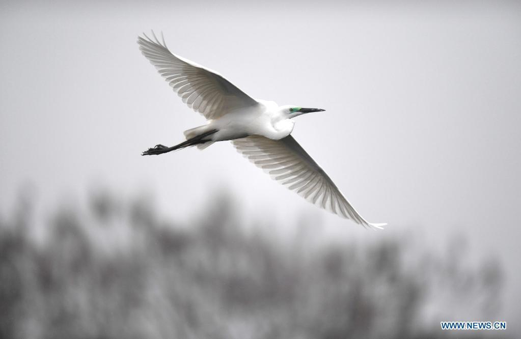 Egrets at Xiangshan Forest Park, Jiangxi
