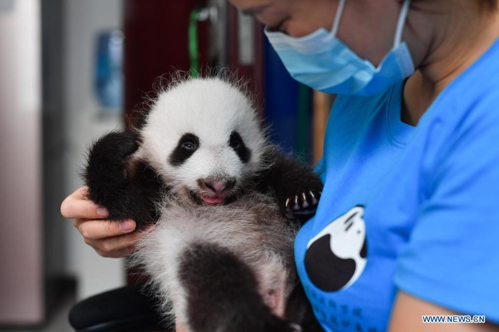Qinling Giant Panda Research Center in Shaanxi witnesses birth of four cubs