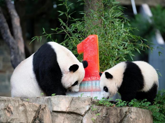 Washington national zoo celebrates panda cub Xiao Qi Ji's 1st birthday