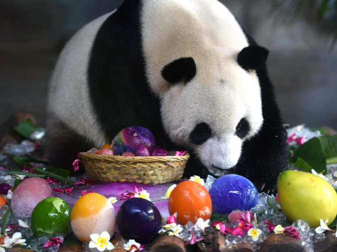 Eighth birthday for pair of giant pandas celebrated in Haikou, Hainan province