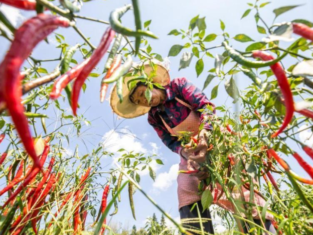 Chili peppers harvested in China's Guizhou