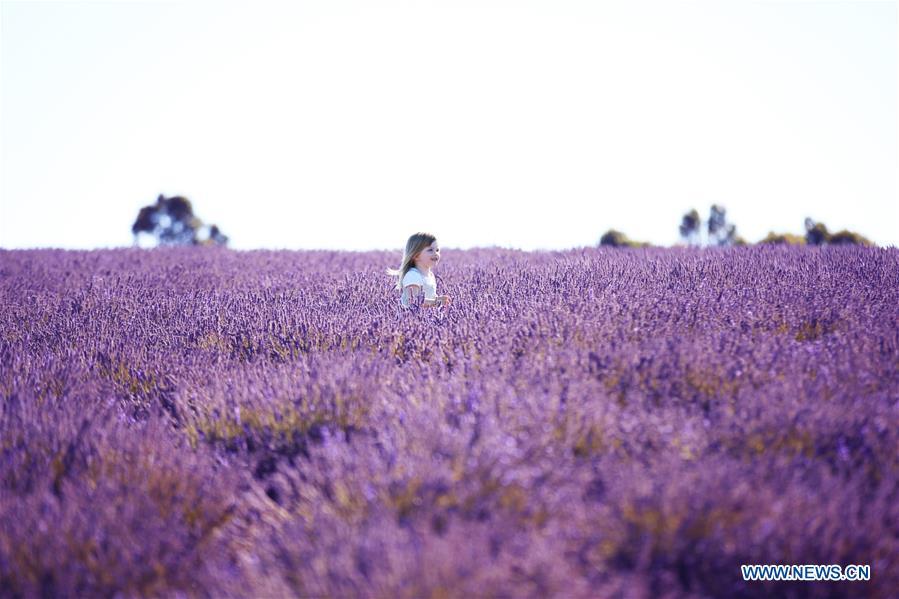 Lavender blossoms at Bridestowe Lavender Estate in Australia
