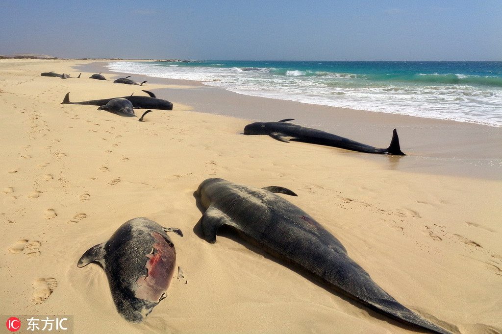 16 stranded pilot whales spotted in Spain