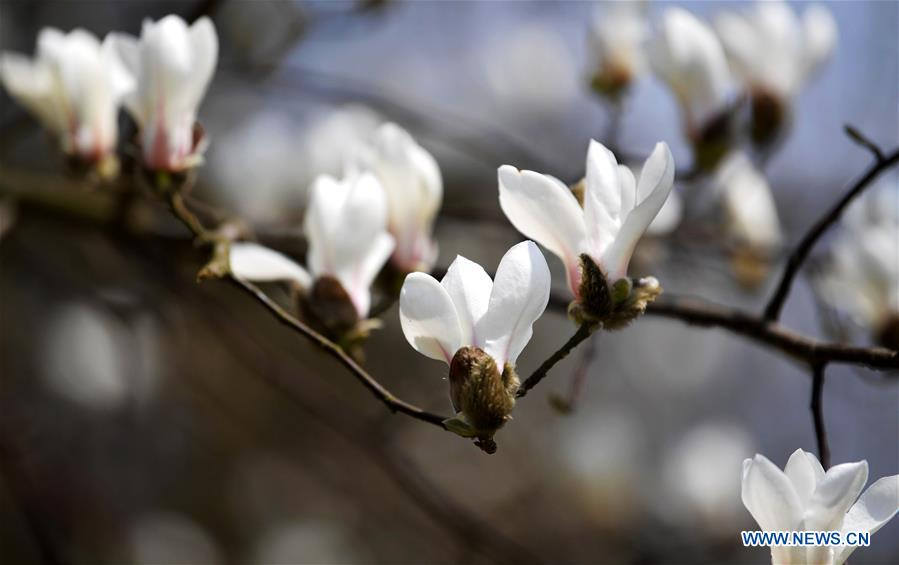 Magnolia flowers bloom as spring comes