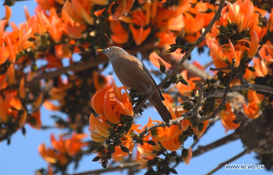 Chestnut-tailed starlings collect nectar in Agartala, India