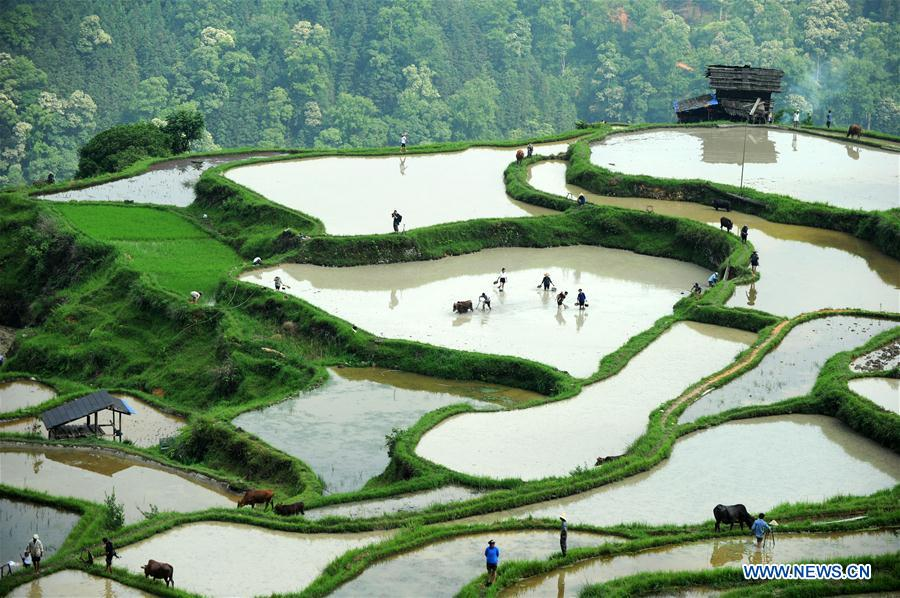 Farmers plough in fields with cattle in SW China's Guizhou