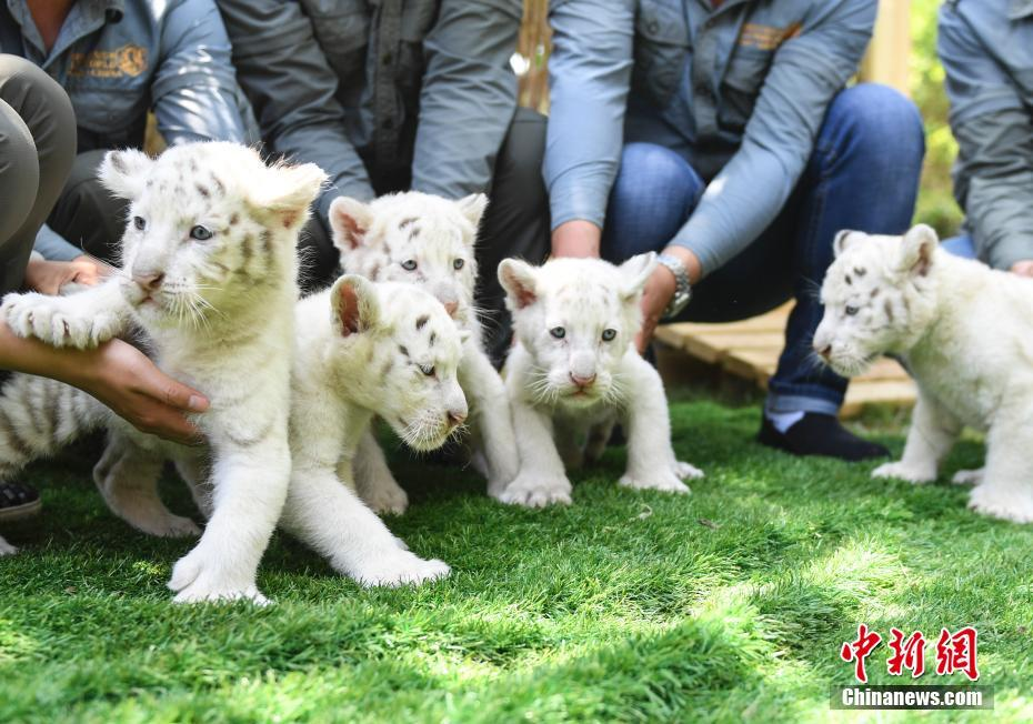 White tiger quintuplets greet the public