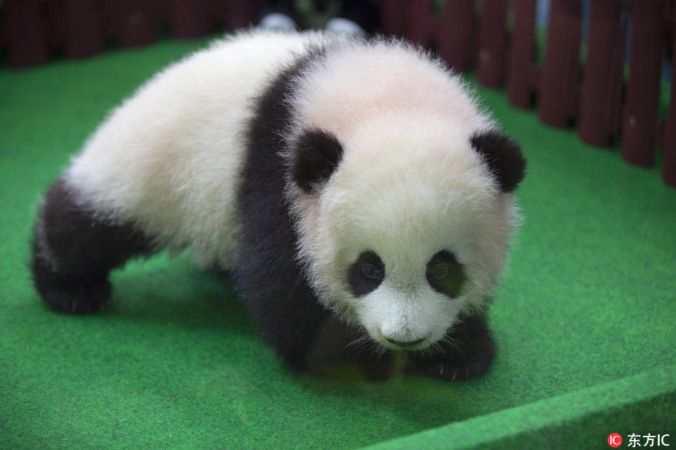 Baby panda makes her first media appearance in Malaysia