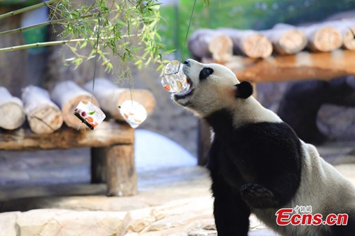 Keepers help giant pandas stay cool at Chimelong Safari Park