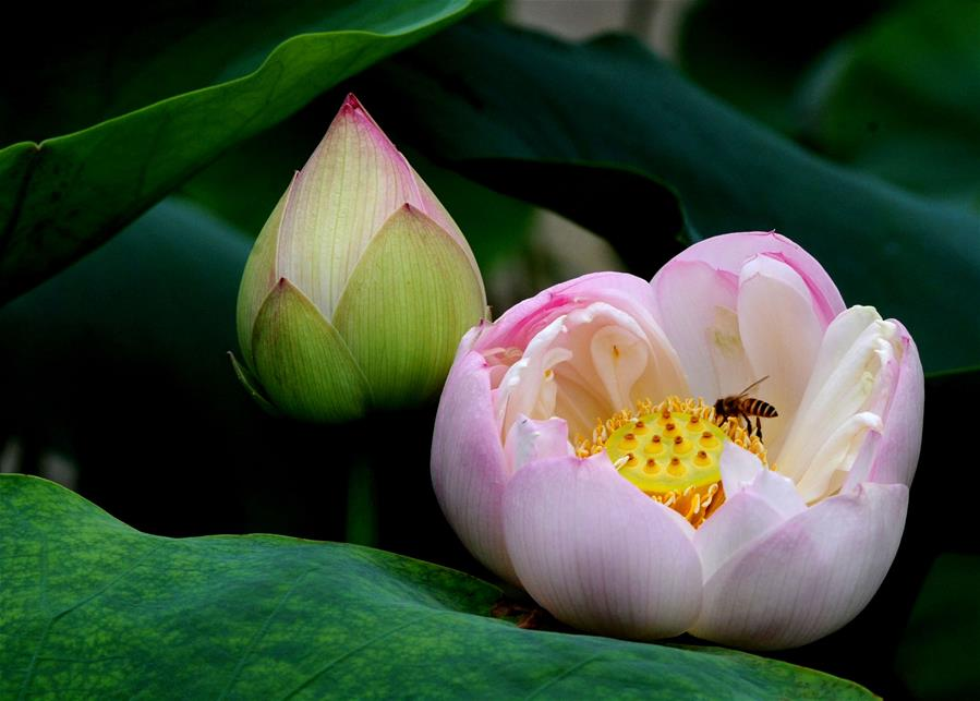 Lotus flowers seen across China