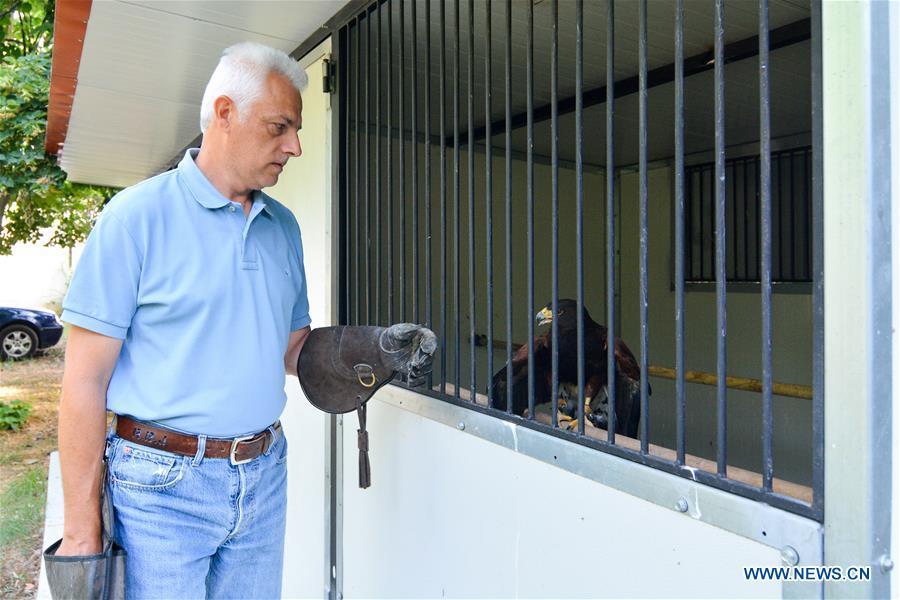 Harris's hawk: city's bird droppings cleaner in Greece