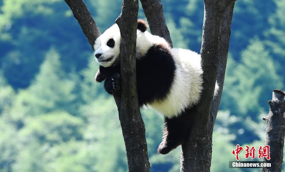 Baby panda enjoys summertime in Sichuan
