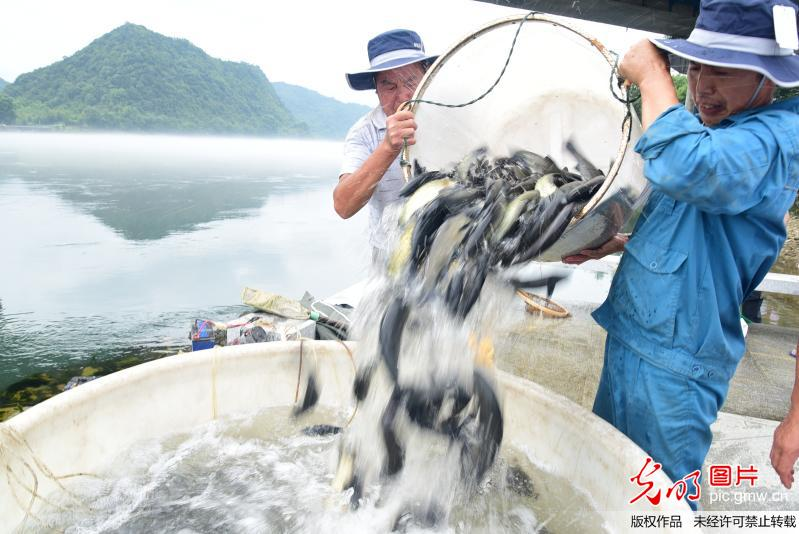 Thousands of fish released into Xin'an River in China's Zhejiang