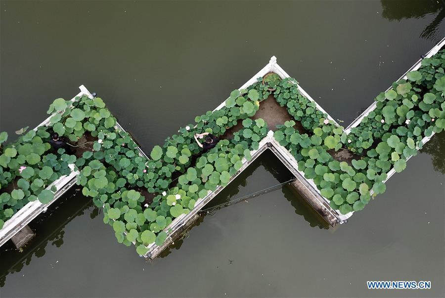 Scenery of lotus flowers in Hefei, E China's Anhui