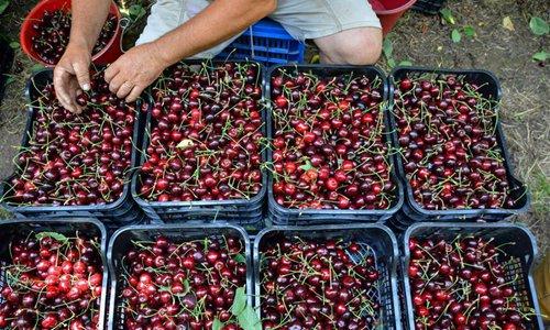 39th Cherry Festival held in Metaxochori, Greece
