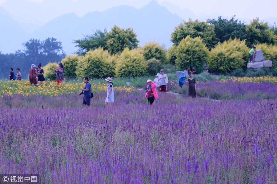 Lavender field in Beijing suburb attracts visitors