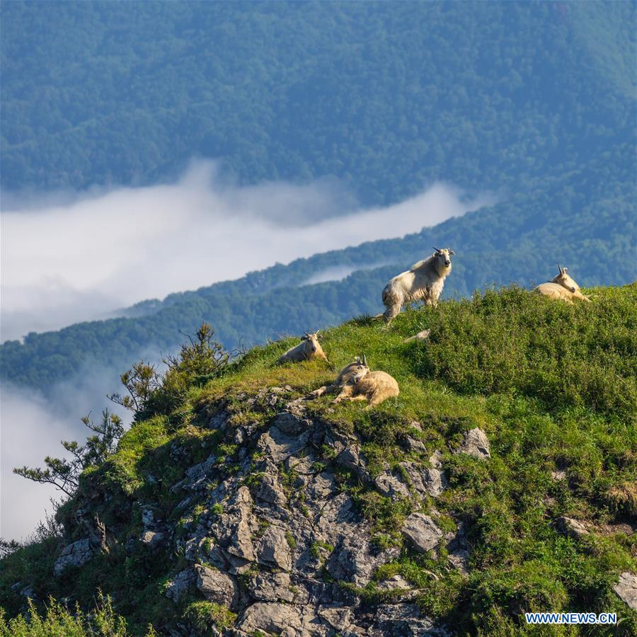 Takins in mountainous region of China's Shaanxi