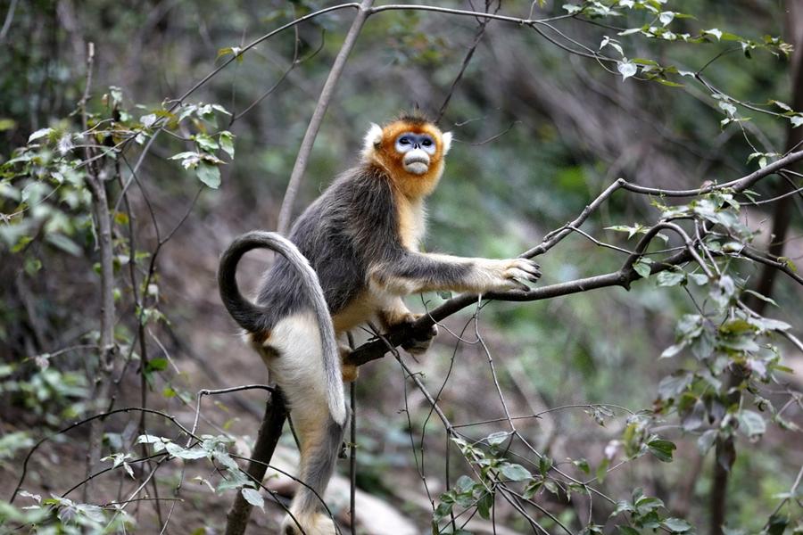 Number of golden monkeys sees remarkable increase