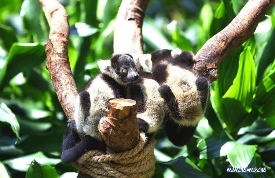 Newborn lemur variegatus triplets meet public in Guangzhou