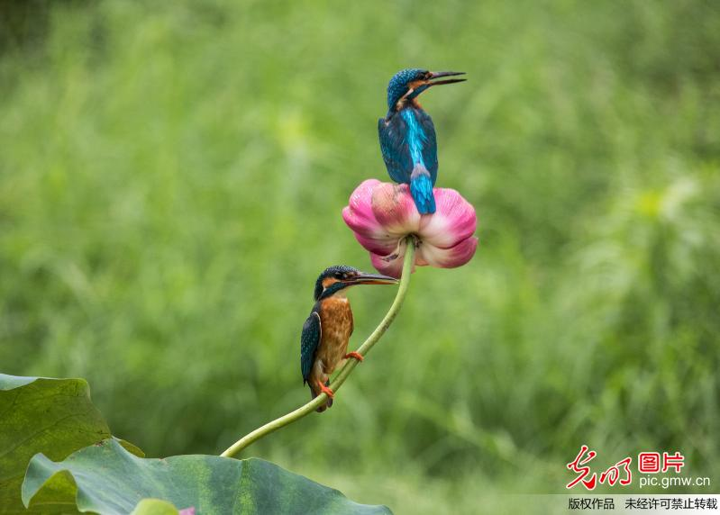 Lotus and birds seen in China's Shandong