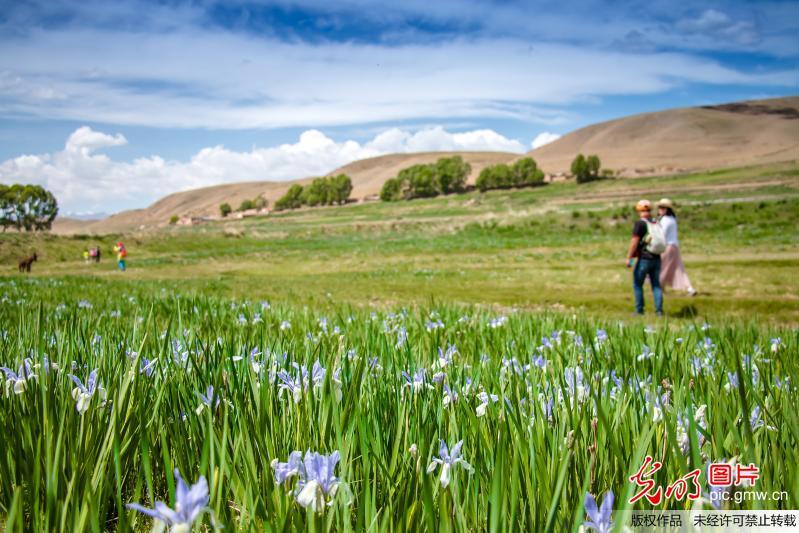 Beautiful flowers seen at the foot of Qilian Mountain