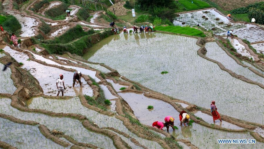 Nepalese people plant rice seedlings as monsoon season begins in Lalitpur