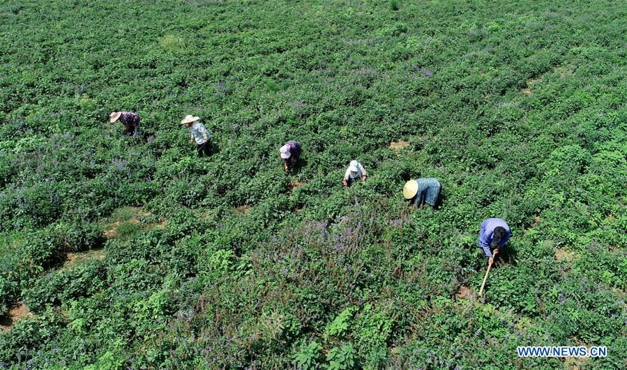 Farmers work in field planted with indigenous Chinese herb in China's Hebei