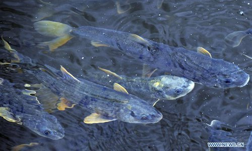 Migratory adult naked carps swim in Quanji Rive in NW China's Qinghai