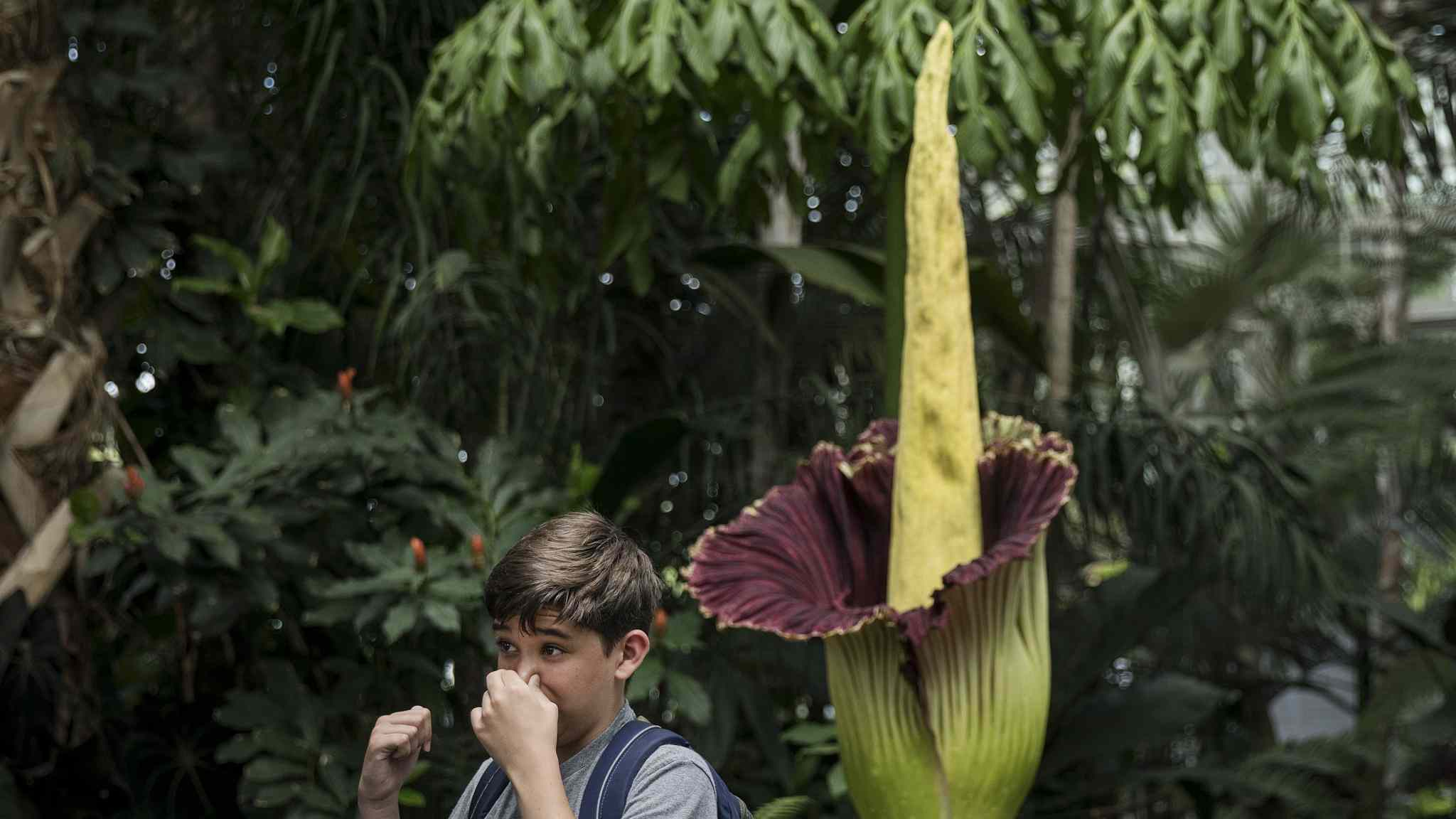 Corpse flower's stench stuns visitors at the New York Botanical Garden