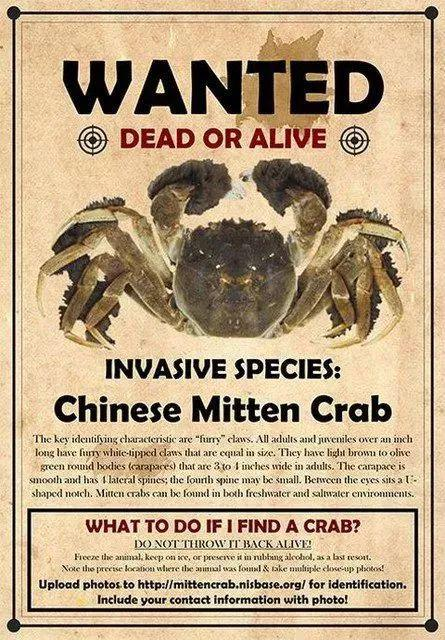 A call to hunt down Chinese Mitten Crab issued by Maryland's Department of Public Works in Anne Arundel County. [File Photo: Wechat/huanqiu-com]