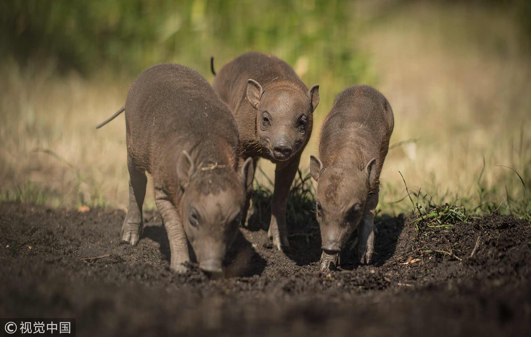 Chester Zoo welcomes rare babirusa piglets