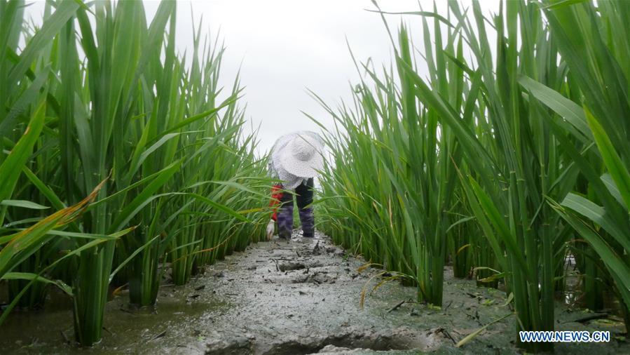 "People do farm work on solar term ""Xiaoshu"" across China"