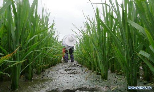 People do farm work on solar term 'Xiaoshu' across China