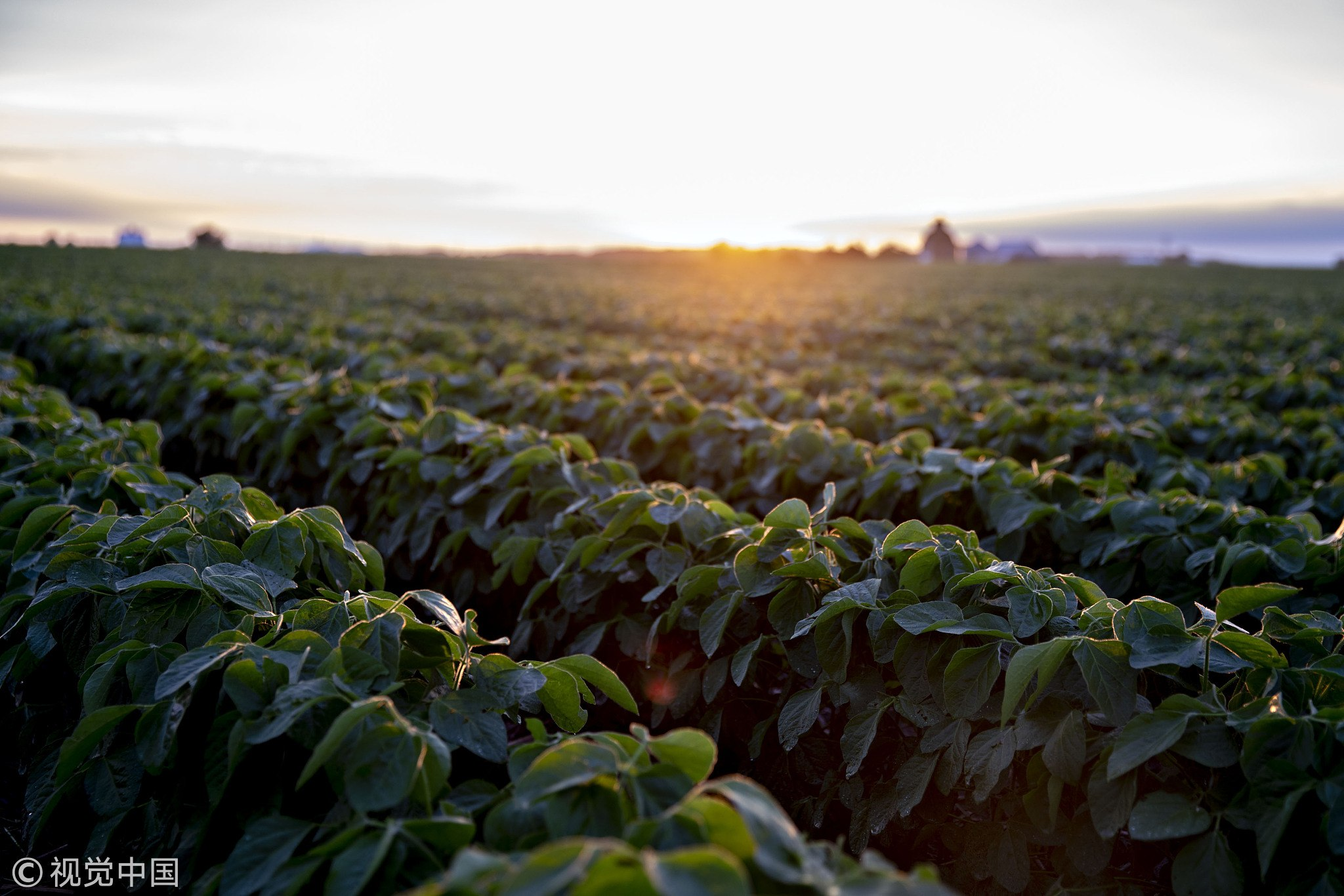 Soybean plants grow in a field near Tiskilwa, Illinois, US on June 19, 2018. A rout in commodities deepened as the threat of a trade war between the world's two biggest economies intensified, hitting markets from steel to soybeans. [Photo:VCG]