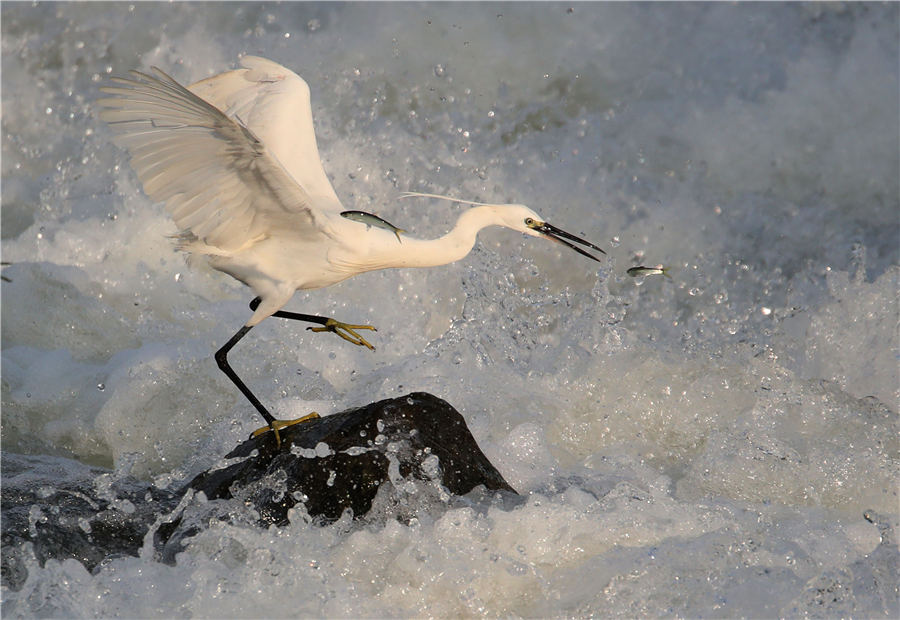 Egret catches fish in Anhui's Xin'an River