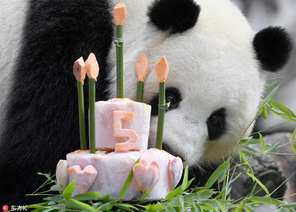 Female panda Meng Meng at Zoo Berlin celebrates 5th birthday