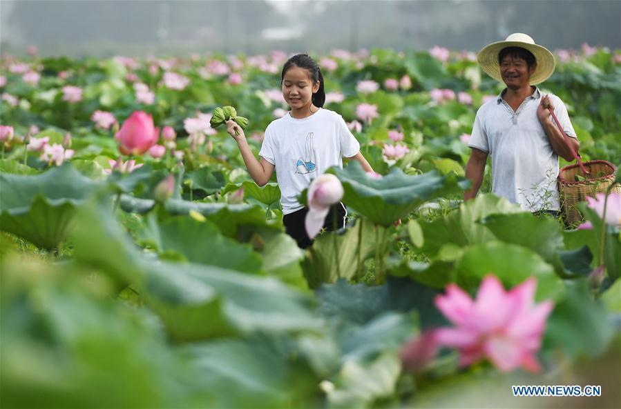 White lotus enters harvest season in E China's Jiangxi