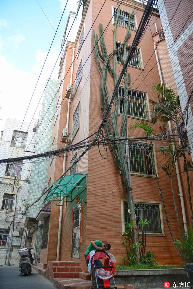 Cactus in Xiamen grows over ten metres