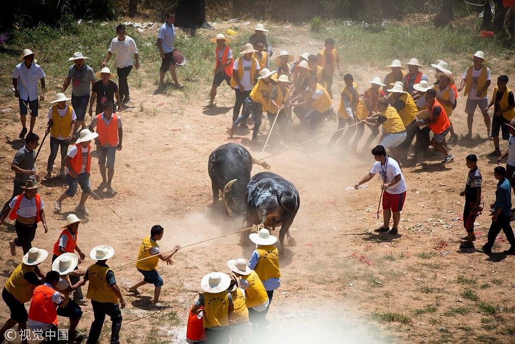 Bullfighting held in Guizhou