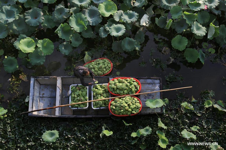 Lotus plantation base brings benefit to villagers in China's Jiangsu
