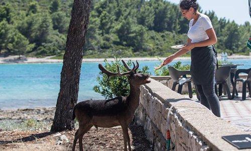 Fallow deer seen on beach of Croatia's Island Badija