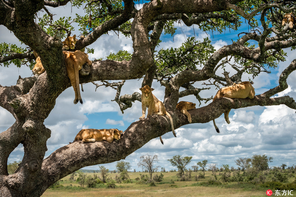 Lions cat nap in a tree in Tanzania
