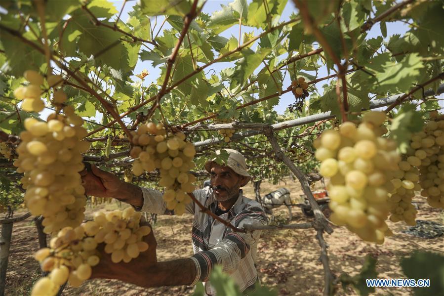 Grapes enter harvest season in Gaza City