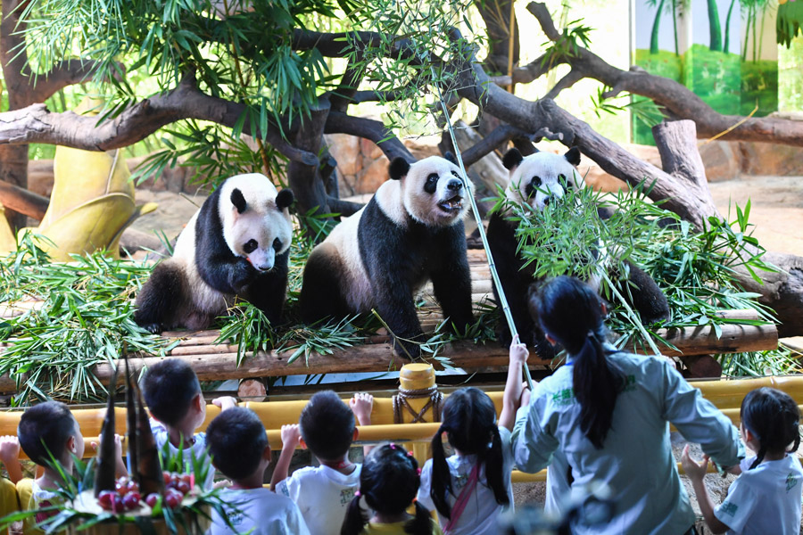 Fourth birthday of giant panda triplets celebrated